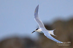 Sandwich Tern photographed at Jaonneuse [JAO] on 1/1/2018. Photo: © Andy Marquis