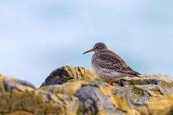 Purple Sandpiper photographed at Fort Doyle [DOY] on 6/1/2018. Photo: © Andy Marquis