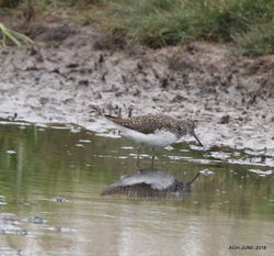 Green Sandpiper photographed at Claire Mare [CLA] on 16/6/2018. Photo: © Albert Harvey