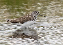 Green Sandpiper photographed at Claire Mare [CLA] on 16/6/2018. Photo: © Anthony Loaring