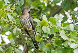 Cuckoo photographed at Rue des Bergers [BER] on 19/6/2018. Photo: ©  Rockdweller