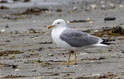Yellow-legged Gull photographed at L'Eree [LER] on 17/7/2018. Photo: © Anthony Loaring
