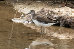 Green Sandpiper photographed at Claire Mare [CLA] on 13/8/2018. Photo: © Rod Ferbrache