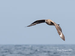 Great Skua photographed at Pelagic [PEL] on 9/9/2018. Photo: © Andy Marquis