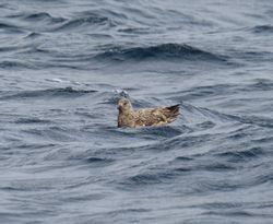Great Skua photographed at Pelagic [PEL] on 9/9/2018. Photo: © Mark Guppy