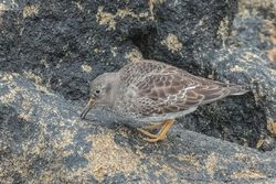Purple Sandpiper photographed at Jaonneuse [JAO] on 15/3/2019. Photo: © Rod Ferbrache