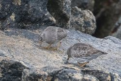 Purple Sandpiper photographed at Select location on 15/3/2019. Photo: © Rod Ferbrache