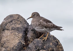 Purple Sandpiper photographed at Jaonneuse [JAO] on 15/3/2019. Photo: © Anthony Loaring