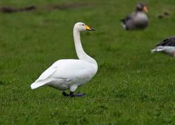 Whooper Swan photographed at Colin Best NR [CNR] on 14/11/2019. Photo: © Anthony Loaring