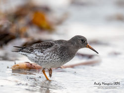 Purple Sandpiper photographed at Jaonneuse [JAO] on 23/11/2019. Photo: © Andy Marquis