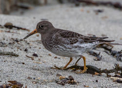 Purple Sandpiper photographed at Jaonneuse [JAO] on 14/1/2020. Photo: © Dave Carre