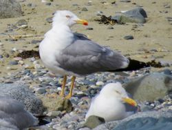 Yellow-legged Gull photographed at Perelle [PER] on 15/7/2020. Photo: © Wayne Turner