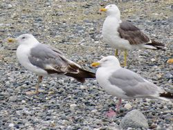 Yellow-legged Gull photographed at Perelle [PER] on 17/7/2020. Photo: © Wayne Turner