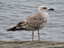 Yellow-legged Gull photographed at Perelle [PER] on 27/7/2020. Photo: © Wayne Turner