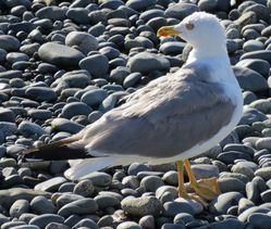Yellow-legged Gull photographed at Perelle [PER] on 30/7/2020. Photo: © Wayne Turner