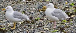 Yellow-legged Gull photographed at Perelle [PER] on 7/8/2020. Photo: © Wayne Turner