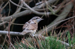 Wryneck photographed at Fort Hommet [HOM] on 19/8/2020. Photo: © Dave Carre