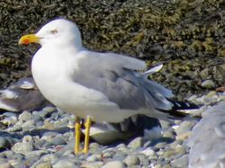 Yellow-legged Gull photographed at Perelle [PER] on 1/9/2020. Photo: © Wayne Turner