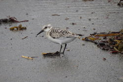 Sanderling photographed at L'Eree [LER] on 25/8/2020. Photo: © Mark Guppy