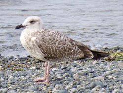 Yellow-legged Gull photographed at Perelle [PER] on 15/9/2020. Photo: © Wayne Turner