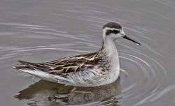 Red-necked Phalarope photographed at Vale Pond [VAL] on 28/9/2020. Photo: ©  Rockdweller