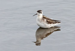 Red-necked Phalarope photographed at Vale Pond [VAL] on 1/10/2020. Photo: © Anthony Loaring