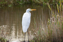 Great White Egret photographed at Vale Pond [VAL] on 7/10/2020. Photo: © Dave Carre