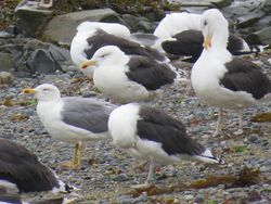 Yellow-legged Gull photographed at Perelle [PER] on 8/10/2020. Photo: © Wayne Turner
