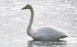 Whooper Swan photographed at Vale Pond [VAL] on 16/10/2020. Photo: ©  Rockdweller