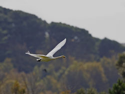 Whooper Swan photographed at Vale Pond [VAL] on 16/10/2020. Photo: © Mike Cunningham