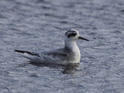 Grey Phalarope photographed at Claire Mare [CLA] on 28/10/2020. Photo: © Mike Cunningham