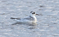 Grey Phalarope photographed at Claire Mare [CLA] on 28/10/2020. Photo: © Anthony Loaring