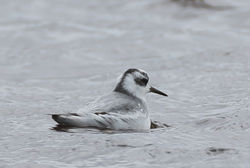 Grey Phalarope photographed at Claire Mare [CLA] on 27/10/2020. Photo: © Dave Carre
