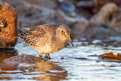 Purple Sandpiper photographed at Jaonneuse [JAO] on 6/11/2020. Photo: © Dave Carre