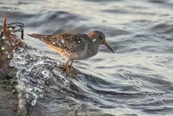 Purple Sandpiper photographed at Jaonneuse [JAO] on 6/11/2020. Photo: © Rod Ferbrache