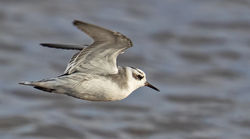 Grey Phalarope photographed at Claire Mare [CLA] on 27/10/2020. Photo: ©  Rockdweller
