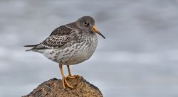 Purple Sandpiper photographed at Jaonneuse [JAO] on 20/11/2020. Photo: ©  Rockdweller