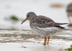Purple Sandpiper photographed at Jaonneuse [JAO] on 21/11/2020. Photo: © Dave Carre