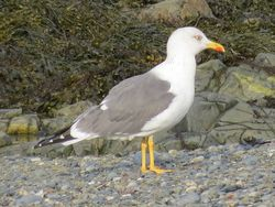 Yellow-legged Gull photographed at Perelle [PER] on 27/11/2020. Photo: © Wayne Turner
