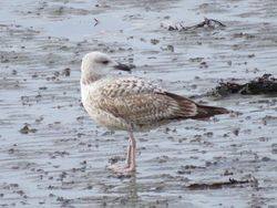 Yellow-legged Gull photographed at Perelle [PER] on 12/3/2021. Photo: © Wayne Turner