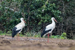 White Stork photographed at Les Petites Vallees, CAT [PVC] on 21/3/2021. Photo: © Andy Marquis