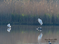 Great White Egret photographed at Vale Pond [VAL] on 24/4/2021. Photo: © Andy Marquis