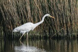 Great White Egret photographed at Vale Pond [VAL] on 24/4/2021. Photo: © Dave Carre