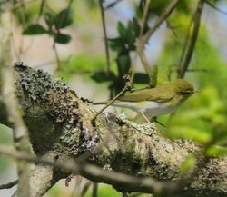 Wood Warbler photographed at Les Raies on 26/4/2021. Photo: © Mark Guppy