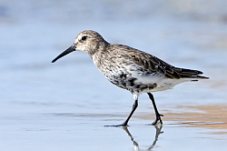 Dunlin photographed at Vazon on 21/9/2008. Photo: © Paul Hillion