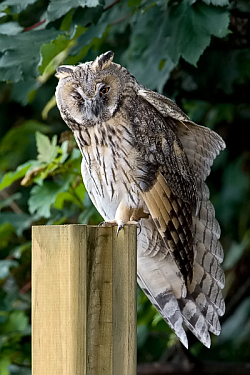 Long-eared Owl photographed at St Sampson on 15/7/2008. Photo: © Paul Hillion