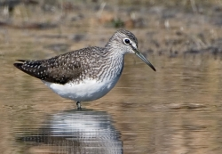 Green Sandpiper photographed at Rue des Bergers NR on 0/0/0. Photo: © Paul Hillion