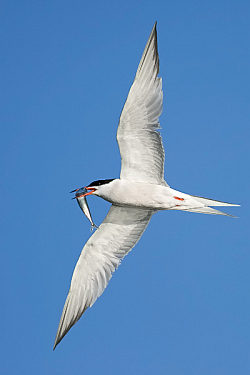 Common Tern photographed at Herm on 14/7/2008. Photo: © Paul Hillion