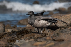 Brent Goose. Photo: © Steve Levrier