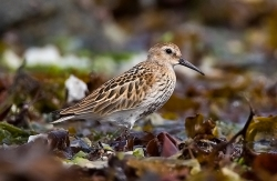 Dunlin photographed at Vazon Bay on 1/9/2007. Photo: © Barry Wells